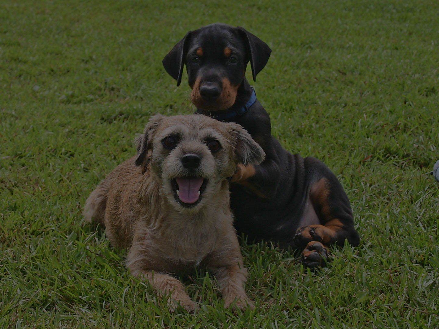 puppies facing the camera sitting on the grass.