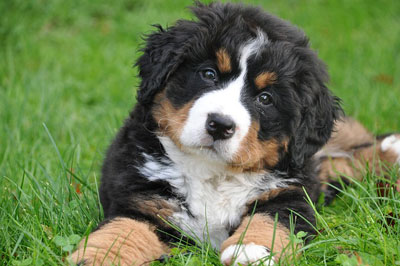 Puppy Berner Sennenhund lies in the green grass.