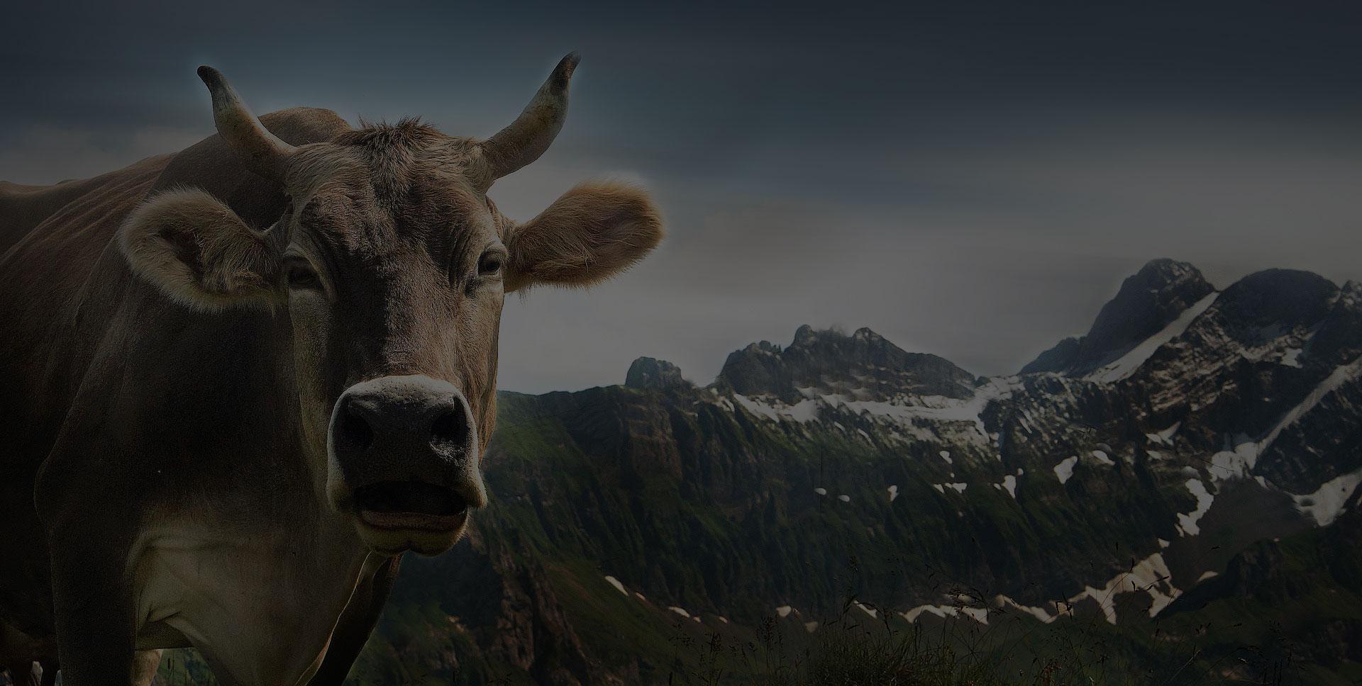 cow-ebenalp-alpine-appenzell