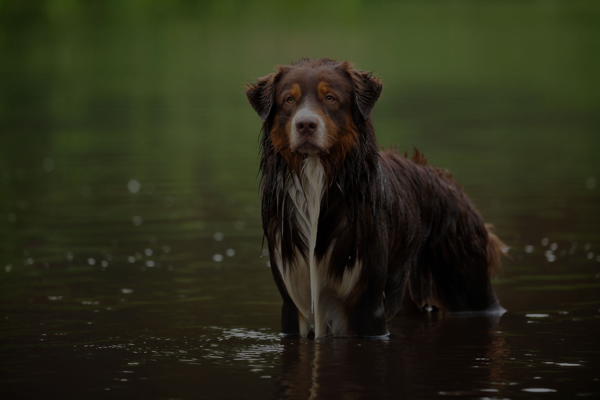 Australian Shepherd dog standing in water